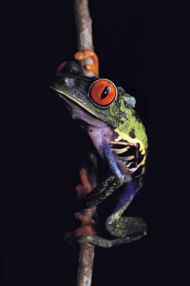 全球10种最怪异青蛙
