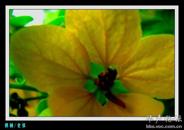 黄槐 那一片片装点春末的靓花