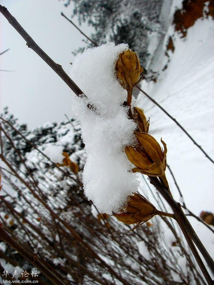 大雪压青松