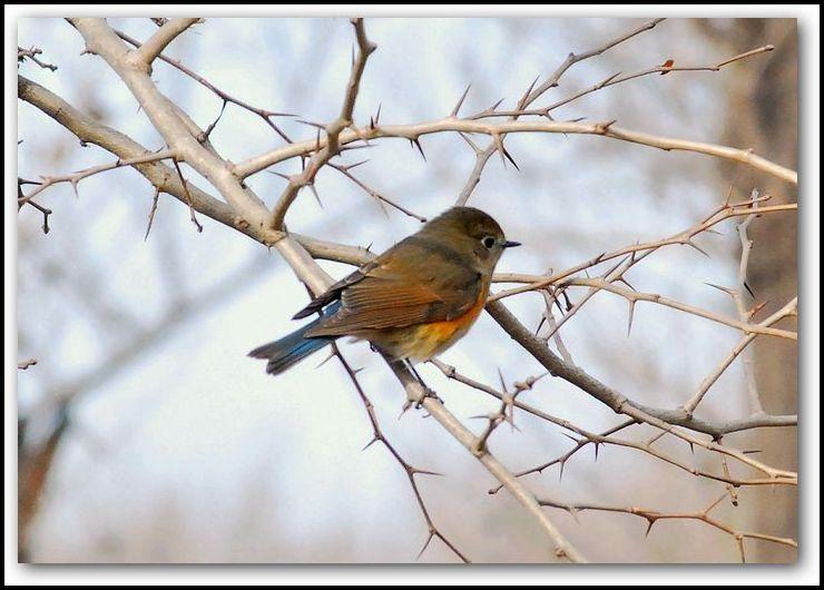 林中的精灵 可爱的小鸟