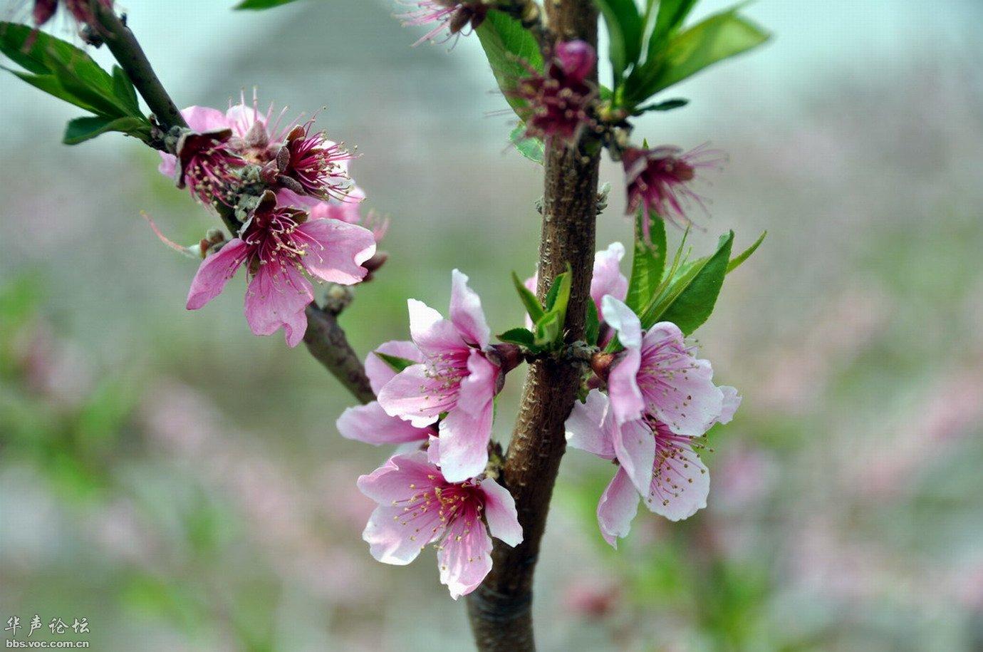 在那桃花盛开的地方