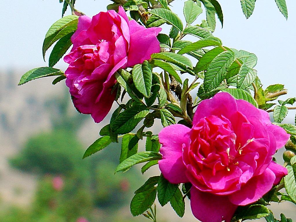 秋天里的玫瑰