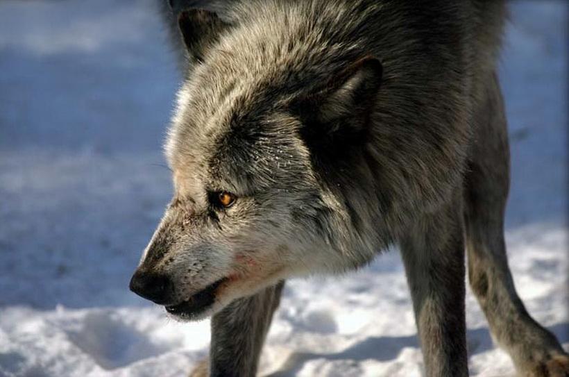近距离观看雪地饿狼的血腥杀戮场景
