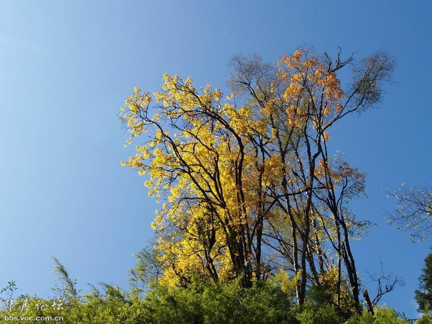 甘孜州 金色的秋天