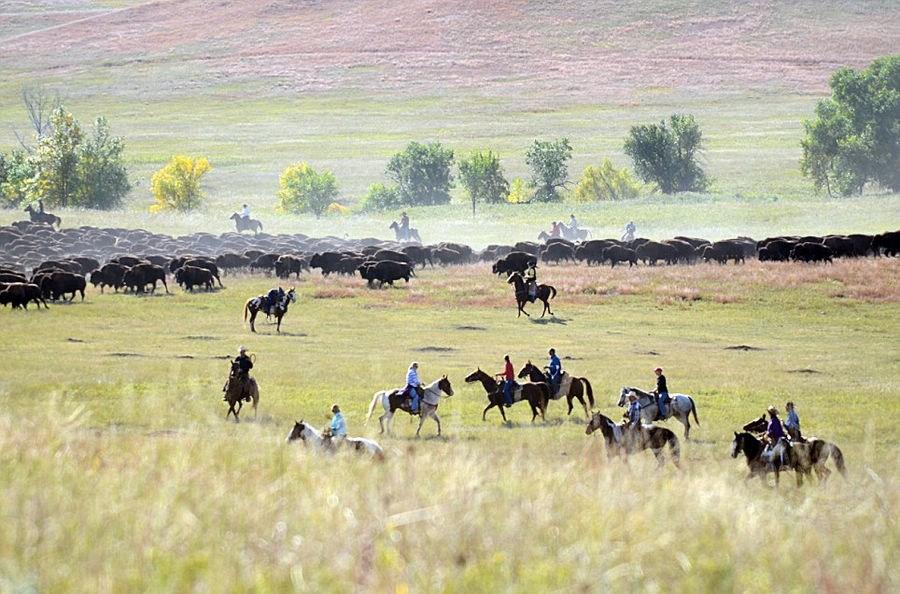 图文 * 掠影美国牛仔驱赶野牛迁徙的壮观场景