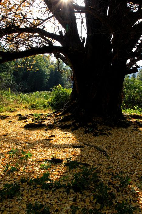 千年银杏树