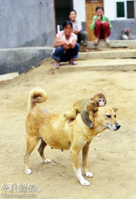 猴子骑牛图片_养猴子真不容易,还要亲自给猴崽喂人奶 - 千奇百怪 - 华声论坛