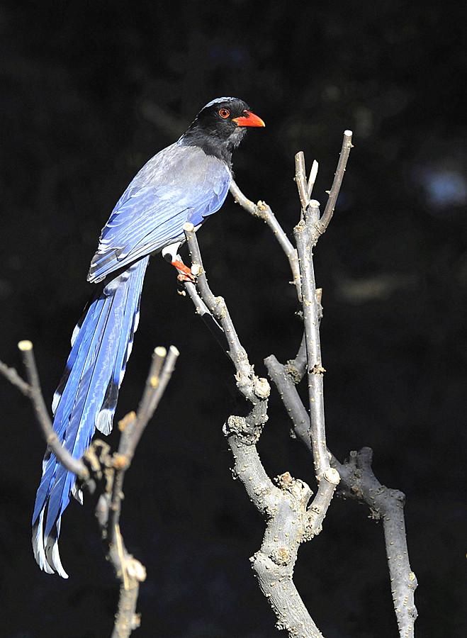 红嘴蓝鹊即中国神话传说中的青鸟:昆仑神话中的主神西王母...
