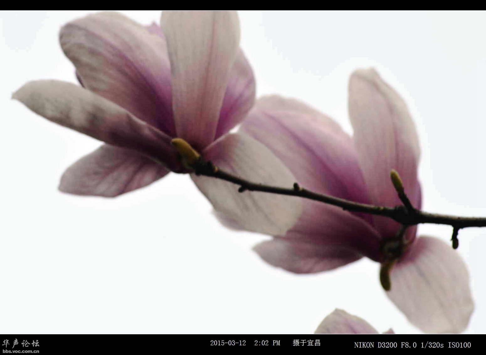 大朵花的树有哪几种