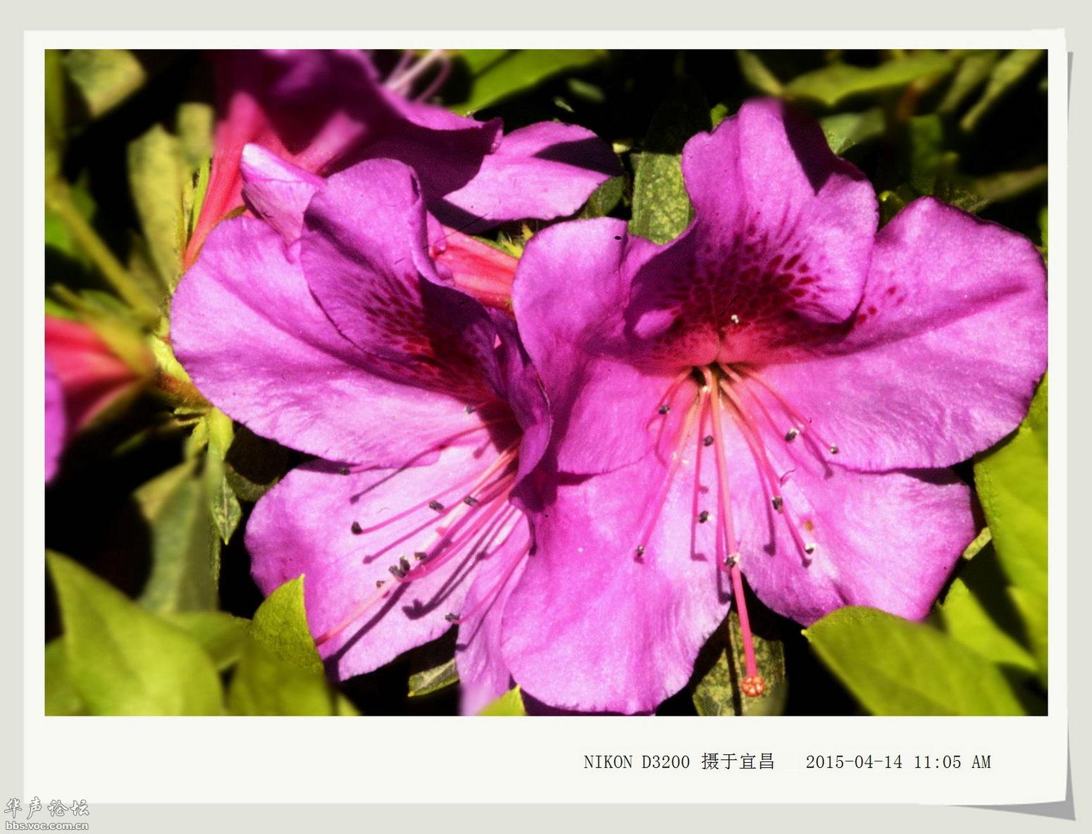 梅花几月有花骨朵