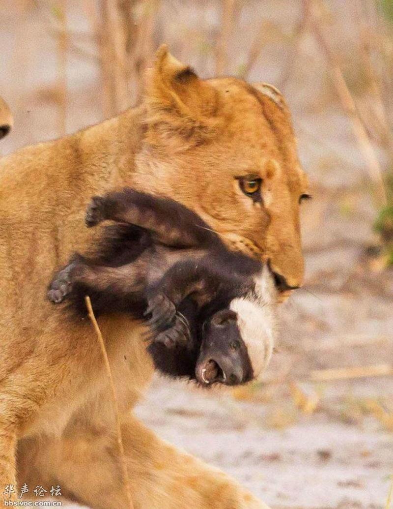 狮子咬死鳄鱼_动物中的疯子——蜜獾:拳打狮虎豹 捕食鳄鱼巨蟒 - 千奇百怪 ...