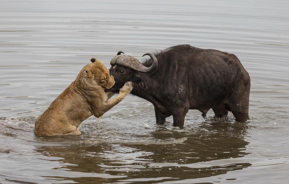 数头母狮围攻 孤立无援成为盘中餐