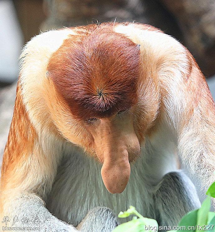奇丑无比的大鼻猴在中国首展(组图(千奇百怪) - 阳子 - ab30208cdefg的博客