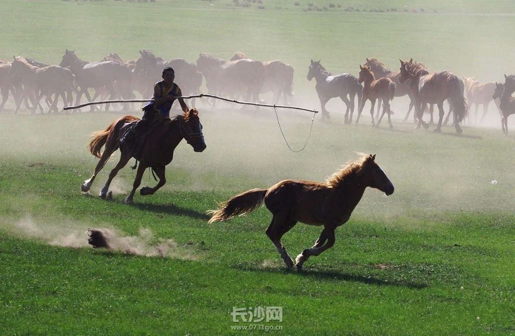 在莫日格勒河,正巧赶上套马活动,进行套马、驯马等蒙古族传统的马文化活动,他们从四面八方,把马都聚在一起,形 ...