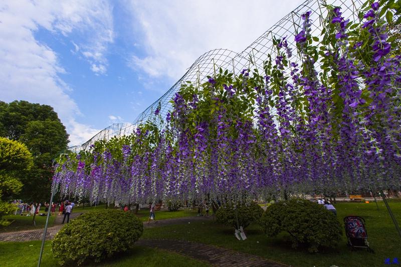 紫藤花海--41.jpg