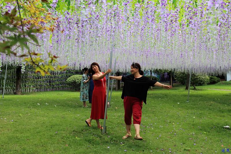 紫藤花海--76.jpg