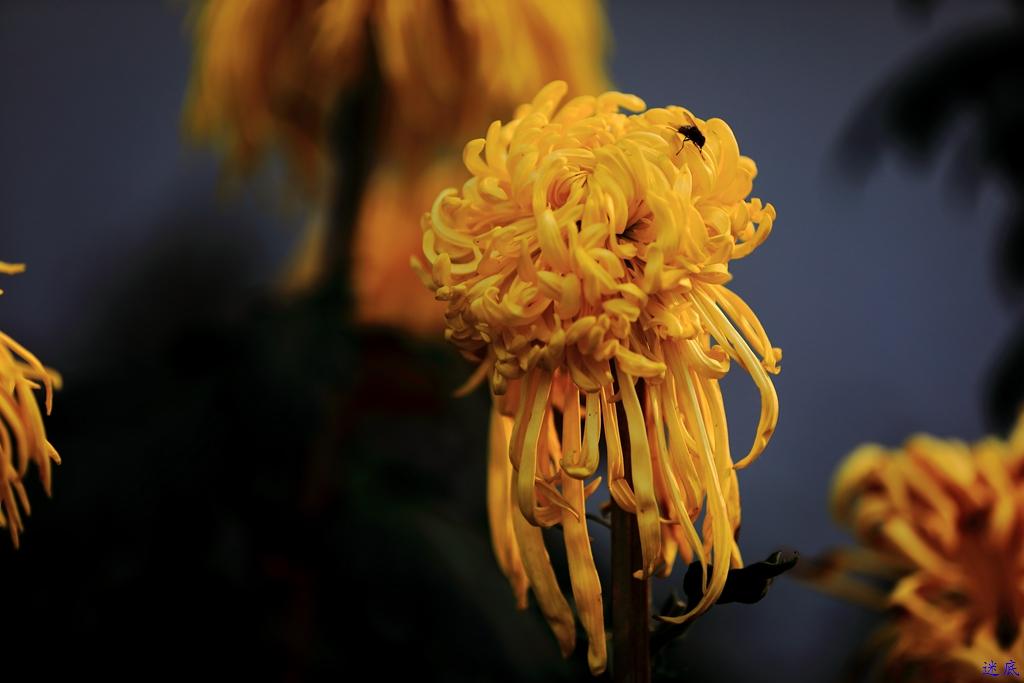 菊花--3.jpg