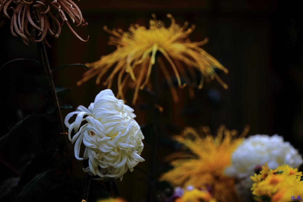 菊花--9.jpg