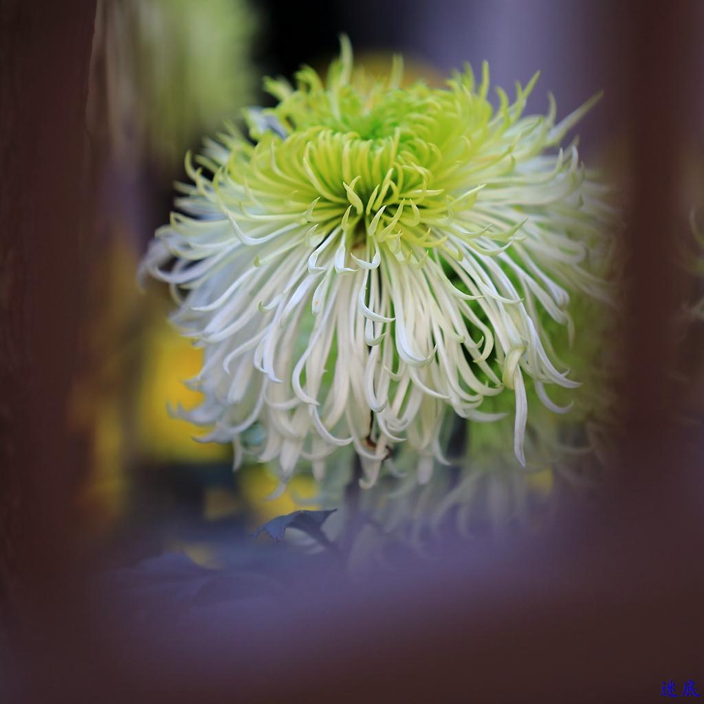 菊花--72.jpg