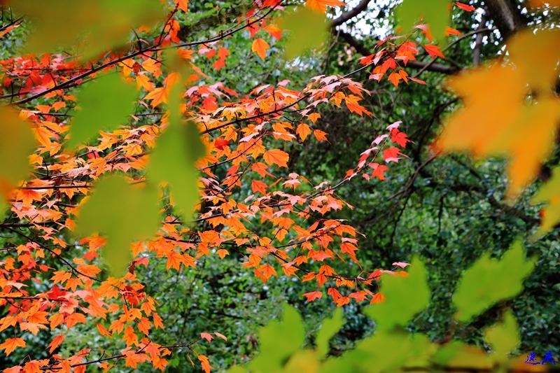 11.19红枫--23.jpg