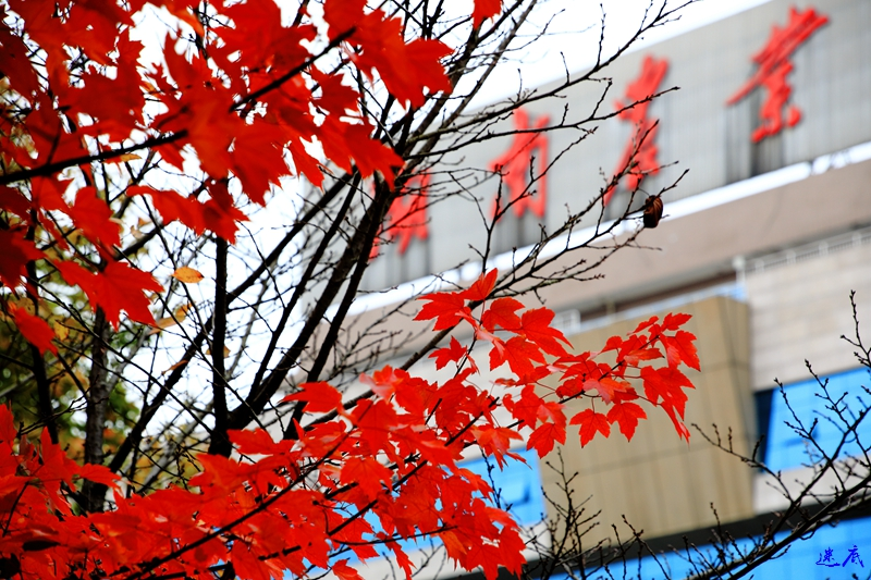 11.19红枫--75.jpg