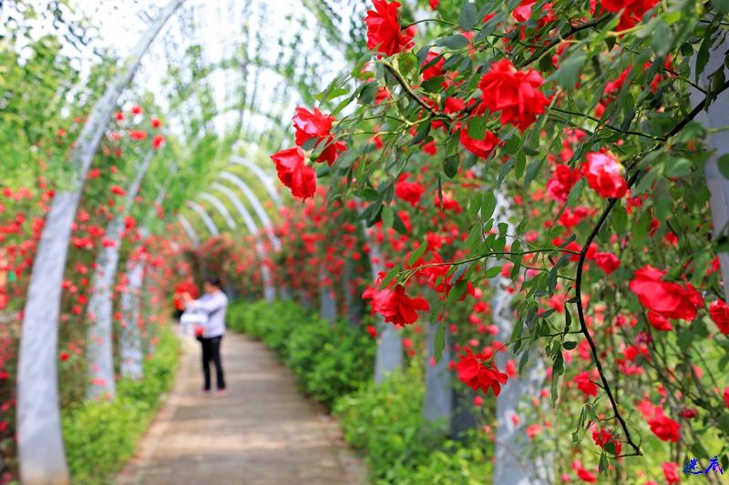 蔷薇花开--7.jpg