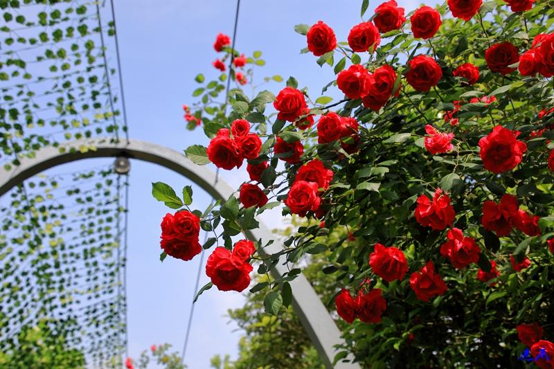 蔷薇花开--12.jpg
