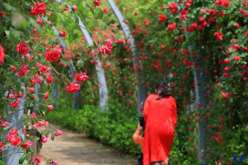 蔷薇花开--28.jpg