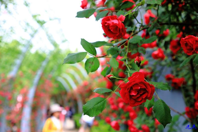 蔷薇花开--68.jpg