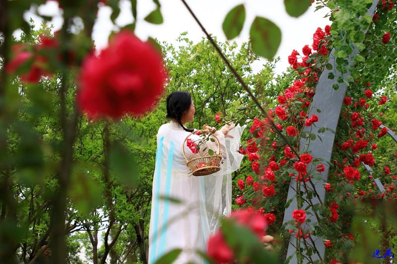 蔷薇花开--96.jpg