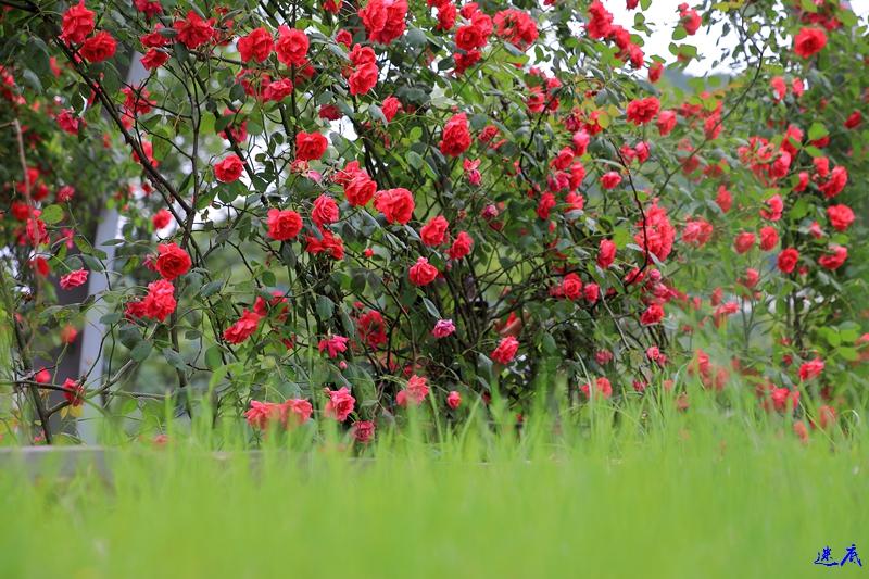 蔷薇花开--100.jpg